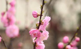 榆叶梅花开